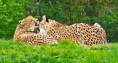 Love you, Dear! (schreibtnix on 'n off) Tags: deutschland germany köln cologne zoo tiere animals raubtier predator leopard leopardcone conusleopardus olympuse5 schreibtnix