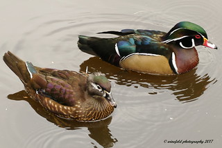 Brautente (Aix sponsa) / Bridal duck