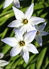 Oude wijfjes of voorjaarsster-Ipheion Uniflora (Cajaflez) Tags: bloem fleur flowr blume ïpheion uniflora voorjaarsster voorjaar printemps fruhling spring