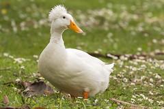 74/365  Duck