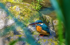 Kingfisher (Changer4Ever) Tags: nikon d7200 nikkor bird animal life nature season wild wildlife color bokeh dof depthoffield light bright feather wings outdoor kingfisher colorful