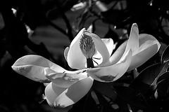 week #16: magnolia blossom (Connie Sue2) Tags: week16 52in2017 thememonochrome monochrome bw magnolia alternate shot