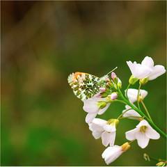 cuckooflower and orangetip........... (atsjebosma) Tags: cuckooflower onrangetip pinksterbloem spring lente voorjaar butterfly vlinder atsjebosma lettelberterpetten natuur nature leek groningen thenetherlands april 2017 ngc npc coth5