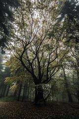 Standing In The Mist (Tim Camin) Tags: tree misty forest green fog foggy saxon switzerland baum wald nebel grün nebelig sächsische schweiz sachsen germany deutschland