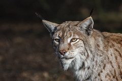 Europäischer Luchs (Frank Güldner) Tags: luchs tierparksababurg zoowildpark