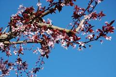 .... è arrivata la primavera ... (antosti) Tags: italia padova albero fiore nikon d70s nature flowers fiori rosa cielo cherry plum blu fioritura