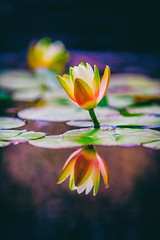 I Saw Tail Lights Last Night in a Dream About My Old Life (Thomas Hawk) Tags: cheesmanpark colorado denver denverbotanicgardens denverbotanicalgarden waterlilies waterlillies botanicalgarden flower waterlilly waterlily fav10 fav25