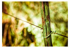 St Patrick's Fence (Daniela 59) Tags: fence fencefriday post paint green greenpaint flaky bokeh wire wirefence stpatricksday danielaruppel