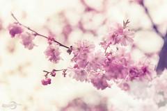 Spring (*Photofreaks*) Tags: gruga grugapark park essen ruhr ruhrgebiet nrw nordrheinwestfalen deutschland germany northrhinewestphalia ruhrmetropolis kohlenpott ruhrpott spring frühling blumen blüten mülheim flowers blossoms