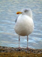 Seagull (stuartcroy) Tags: orkney island sea seagull beautiful blue bay bird sony scotland