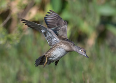 Mrs. Wood Duck (PeterBrannon) Tags: aixsponsa beautifulduck bird birdphotography female flight florida nature water waterfowl wildlife woodduck display duck landing