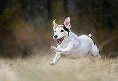 DSC_9919 (Lucie Pestova) Tags: jack russell jackrussell terrier jackrussellterrier adopteddog running run dog happydog happy beautiful