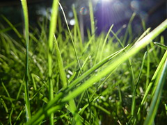 The green green grass of home (billgaudinnz) Tags: grass tz10 dmctz10 panasonic green sunlight light lightandshade macro closeup