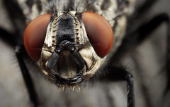Alien (Jacko 999) Tags: canon eos 5ds r mpe65mm f28 15x macro photo ƒ130 650 mm 1100 400 alien extreme robert eede fly insect close closeup 5dsr compound eyes
