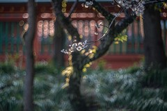 _DSC2736a (kymarto) Tags: bokeh bokehlicious depthoffield dof japan fujinomiya shrine shinto fuji tourism plumblossoms ume spring nikon nikond800 nikonphotography
