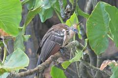 Hoazin huppé 2 (ptitmaxguyane) Tags: jaguar zoo bagne iles du salut capucin singe oiseau marais de kaw prison héron cocoï martin pecheur amerique sud buse hurubus hoazin huppé cabiaie