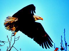 IT'S GOOD BYE TIME ... (Aspenbreeze) Tags: eagle eagleinflight wildbird faptor wildraptor wins beak baldeagle americanbaldeagle bird birdofprey coloradowildlife bevzuerlein aspenbreeze moonandbackphotography