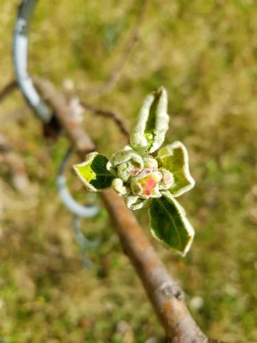 Spring in my garden - Apfelbaum