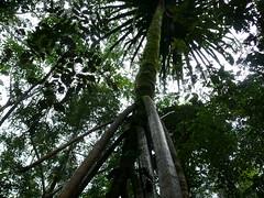 tree fern in Papau New Guinea (Pete Read) Tags: tree fern papau new guinea