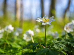 Zawilec (Galeria A. F. Izydorczyka) Tags: poland mielno olympus nature spring m43 outdoor flower anemone macro dof forest panasonic