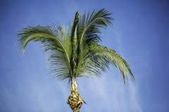 Trimmed Palm Tree (Mabry Campbell) Tags: 2016 december mabrycampbell mexico nayarit puntamita rivieranayarit blue bluesky coastal commercialphotography fineart fineartphotography green image palmtree photo photograph photographer photography sky tree trip tropical tropics f28 december112016 20161211campbellh6a8663 100mm ¹⁄₅₀sec 12800 ef100mmf28lmacroisusm