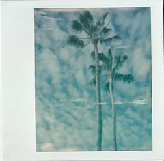 (deep_blue_sea_1956) Tags: polaroidspectrapro southerncalifornia palmtres trees polaroidweek2017 roidweek2017 believeinfilm
