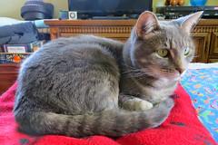 Millie 7 April 2017 4023Ri 4x6 (edgarandron - Busy!) Tags: cat cats kitty kitties tabby tabbies cute feline millie graytabby