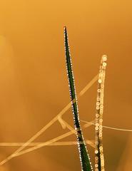 Miracle blades (Robyn Hooz (away)) Tags: blades erba steli rugiada dew web ragnatela spider abstract luce