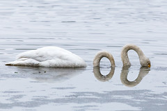 Loch Iides monster (SamppaV) Tags: silly iidesjärvi manipulation photoshop swan bird spring april lake loch monster neck canon400mmf56lusm canon6d overcast meltingice
