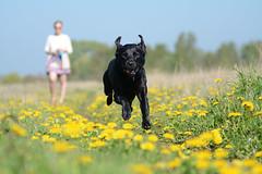 Batman (fjnige) Tags: meadow field blacklabrador labrador dandelions dog running nikon d7100 80200mm nikkor