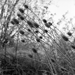 (salparadise666) Tags: mamiya c330 sekor 80mm fuji neopan acros 100 caffenol cl semistand 32min nils volkmer monochrome 6x6 square format medium nature landscape germany niedersachsen hannover region calenberger land bw vintage camera tlr