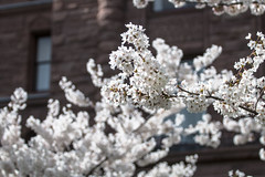 Blossoms (A Great Capture) Tags: urban spring april canada ontario toronto queenspark nature flowers blossoms tree cherry cherryblossoms