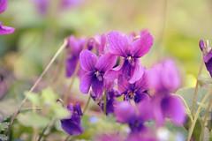 Small flowers (stefaniebst) Tags: spring printemps flower fleur pastel light garden jardin nature naturelover fragile violet