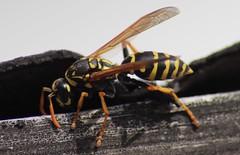 Summer Summ (monsch50) Tags: frühling canon fliegen flügel gelb stachel natur insekt hornisse biene wespe animal