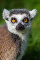 Lemur portrait (Click U) Tags: ring tailed lemur canon 300mm f28 if