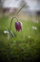 Fritillaria melagris- wilde kievitsbloem (vanderkampgert) Tags: hinkso marin