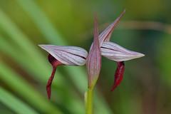 Serapias parviflora. (Victoria.....a secas.) Tags: orquídea orchid orquídeasilvestre