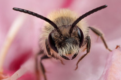 Male miner bee in rhododendron flower #3 (Lord V) Tags: macro bug insect bee minerbee