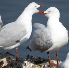 Silver Gulls - having a bit of a barney (Free_aza_Bird) Tags: silver gull silvergull frankstonrervoir chroicocephalus novaehollandiae chroicocephalusnovaehollandiae bird seagull tern birder