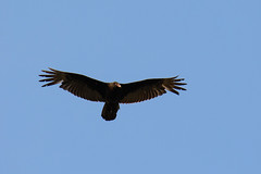 Turkey vulture (chmptr) Tags: animal animalier wildlife bird oiseau vulture vautour turkey nature