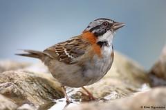 Zonotrichia capensis (Rémi Bigonneau) Tags: zonotrichiacapensis rufouscollaredsparrow sparrow bruant bruantchingolo oiseau bird animal nature wildlife peru pérou machu picchu