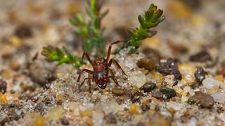 Wood Ant