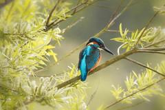 Kingfisher in the evening light (liam_m_ryan) Tags: derbyshire wildlife reserve willington gravel pits kingfisher birds bird birder nikon p900