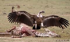 Hunting experience (Claudia exploring) Tags: wildlife zebra killing vulture africa savana meat hungry ferocity food hard time