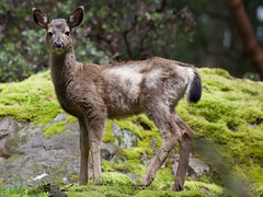 Young doe (John F. Anderson) Tags: deer doe morrellnaturesanctuary nanaimo forests britishcolumbia