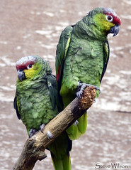 Pair of Lilacine Amazons (Steve Wilson - over 8 million views Thanks !!) Tags: nikon d7000 nikond7000 chester zoo chesterzoo nature wildlife animal bird avian pair parrot amazon lilacine lilacineamazon ecuador ecuadorian red green southamerica jungle rainforest tropical