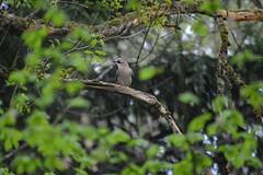 Eichelhäher - garrulus glandarius (krueesch) Tags: birds bird rabenvogel jay garrulusglandarius eichelhäher