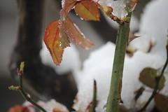 mimosas, finca, huerta. barros 025 (Pablo Alvarez Corredera) Tags: nieve barros vega felguera nevada mimosas rotas partidas arbol arboles rosales rosas petalos helados mojados agua flores flor huerta finca fuertos arboleda