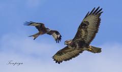 poiana con nibbio reale (Tonpiga) Tags: tonpiga uccelliinlibertà faunaselvatica rapaci predatori nibbioreale poiana