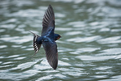 Rauchschwalbe (Hirundo rustica) 17001 (bertheeb) Tags: rauchschwalbe schwalbe vogel singvogel nikon d750 500mmvr